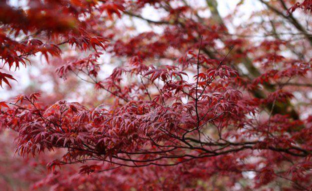太平山國家森林遊樂區紫葉槭 (林務局 提供)